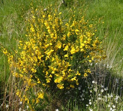 Irish Bealtaine Broom Bush