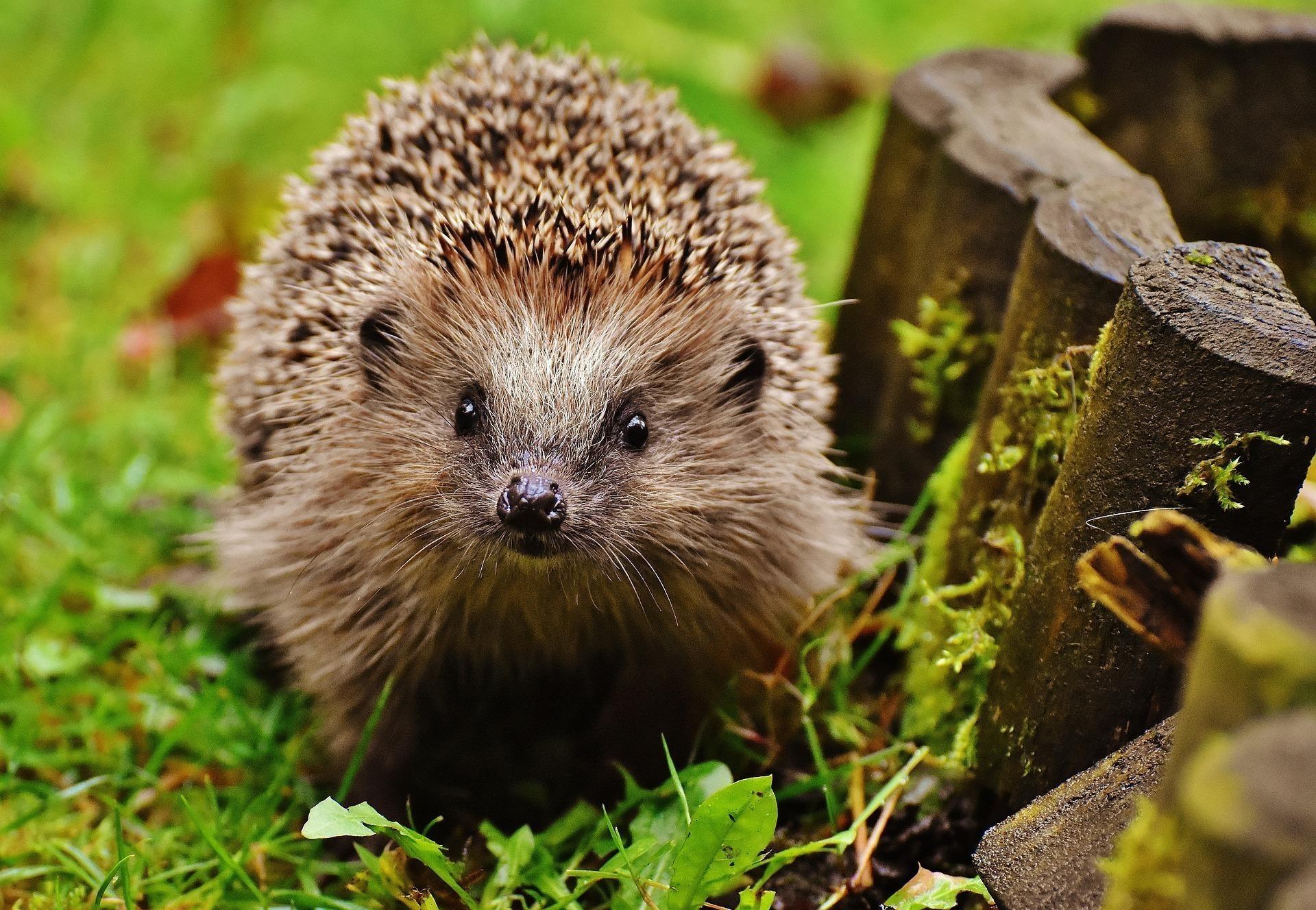 Irish Pagan Resources with Hedgehog