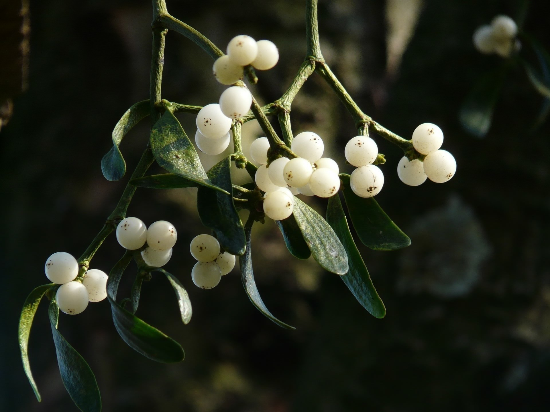 Druids in classical writing with mistletoe berries